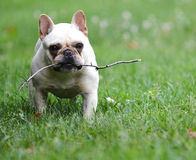 Dog playing with stick Royalty Free Stock Photo
