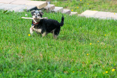 Dog playing with stick in grass. Small dog running and playing with a stick in the grass Stock Photo
