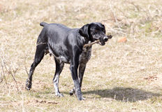 Dog playing with a stick on nature Stock Photography