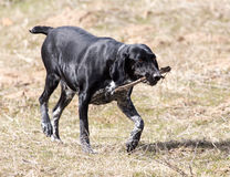 Dog playing with a stick on nature Royalty Free Stock Photo