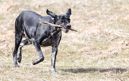 Dog playing with a stick on nature Royalty Free Stock Image