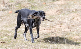 Dog playing with a stick on nature Stock Photo