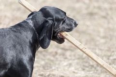 Dog playing with a stick on nature.  stock image