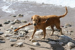Dog playing with a stick Royalty Free Stock Images