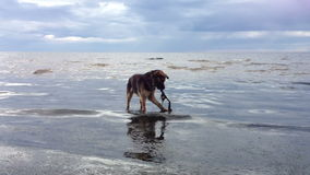 Dog playing with a stick in water stock video