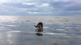 Dog playing with a stick in water stock video footage
