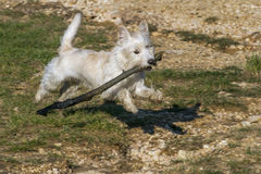 Dog playing with a stick. White terrier like dog playing on a grassy area with a large stick Stock Photography
