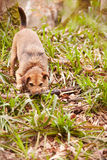 Dog Playing With Stick In Woodland Stock Photo