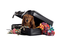 Dog playing in suitcase stock photography