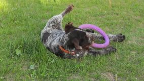 Dog playing with summer ring stock video footage