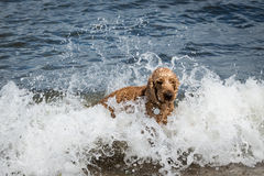 Dog playing in the surf Royalty Free Stock Photos