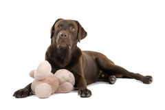 Dog playing with teddy bear Royalty Free Stock Image