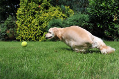 Dog playing with tennis ball Royalty Free Stock Image