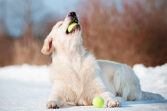 Dog playing with tennis ball Royalty Free Stock Photography