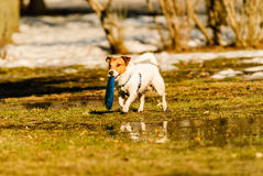 Dog playing toss and fetch game with disk at spring park. Jack Russell Terrier fetching blue disk royalty free stock photo