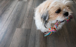 Dog playing. Dog is playing with toy Royalty Free Stock Image
