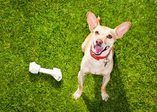 Dog playing with toy or bone. Happy chihuahua terrier dog in park or meadow waiting and looking up to owner to play and have fun together, bone on grass royalty free stock image