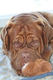 Dog playing with toy. Dogue de bordeaux playing with toy Stock Photos