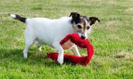 Dog Playing With Toy Royalty Free Stock Photo