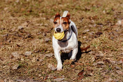 Dog playing with toy rubber ball on last year old leaves Royalty Free Stock Image