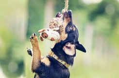 Dog playing with toy Royalty Free Stock Image