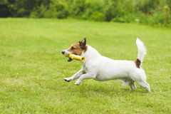Dog playing with toy stick at pet friendly back yard Stock Image