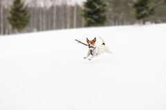 Dog playing with toy on winter snowy golf field. Jack Russell Terrier running with a wood stick Royalty Free Stock Images