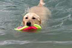 The dog playing in the water. The dog swimming in the water Royalty Free Stock Image