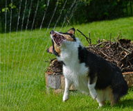 Dog playing with water on the back yard Stock Image