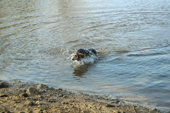 Dog  playing in water Royalty Free Stock Photos