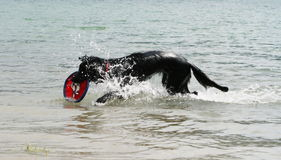 Dog playing in water with a frisbee. In this photo, a dog enjoys playing in water with a freesby. This is one of the favorite games of a dog and is called Royalty Free Stock Photo