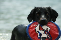 A black dog is playing in the water with a frisbee. Stock Images