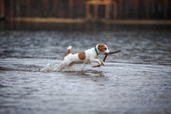 Dog playing in water Stock Photos