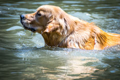 Dog playing with water in a lake Stock Photography