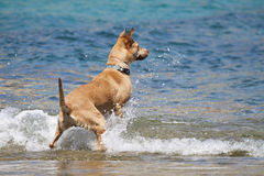 Dog playing in the water Royalty Free Stock Photography