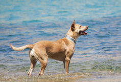 Dog playing in the water Royalty Free Stock Photo