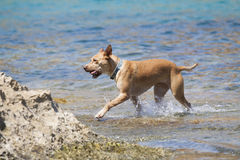 Dog playing in the water Royalty Free Stock Images