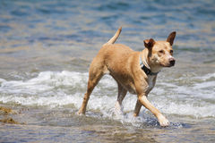 Dog playing in the water Royalty Free Stock Photos