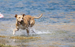 Dog playing in the water Royalty Free Stock Image