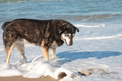 Dog playing in waves at Pouawa surf beach, New Zealand Royalty Free Stock Photo