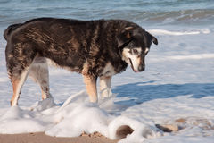 Dog playing in waves at Pouawa surf beach, New Zealand Stock Image