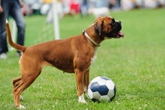 Dog Playing With Ball Stock Image