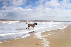 Dog playng on the beach. Uk, background Stock Images