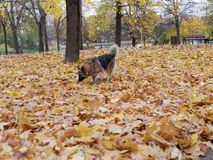 Dog plays in autumn Park royalty free stock photos