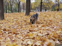 Dog plays in autumn Park royalty free stock photo