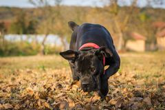 Dog plays with ball in backyard. Female dog of Cane Corso breed plays with the ball in autumn in backyard stock image