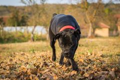 Dog plays with ball in backyard. Female dog of Cane Corso breed plays with the ball in autumn in backyard stock photo