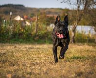 Dog plays with ball in backyard. Female dog of Cane Corso breed plays with the ball in autumn in backyard royalty free stock images