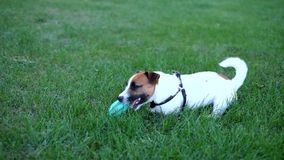 Dog plays with the ball stock footage