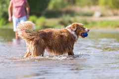 Dog plays with a ball in the water Stock Photo